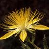 Blazing Star (Mentzelia lindleyi).<br> Photo by Blitzo.