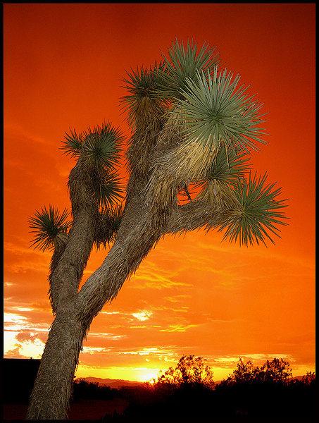 Sunrise, Joshua Tree, 10-02-10.<br> Photo by Blitzo.