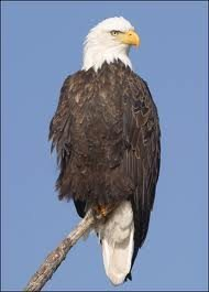 The beautiful and proud Bald Eagle.