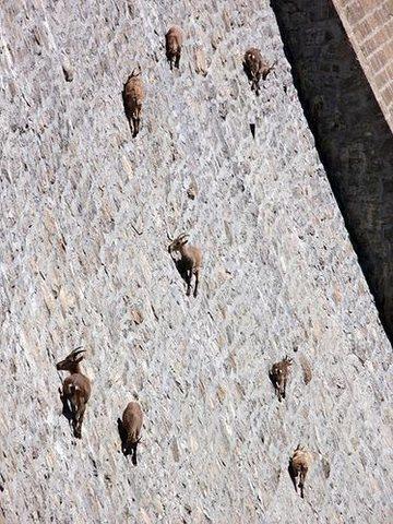Rock Climbing Photo: crazy goat