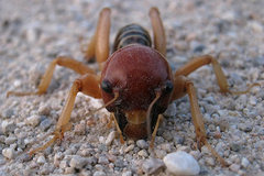 Rock Climbing Photo: Jereusalum cricket. Photo by Blitzo.