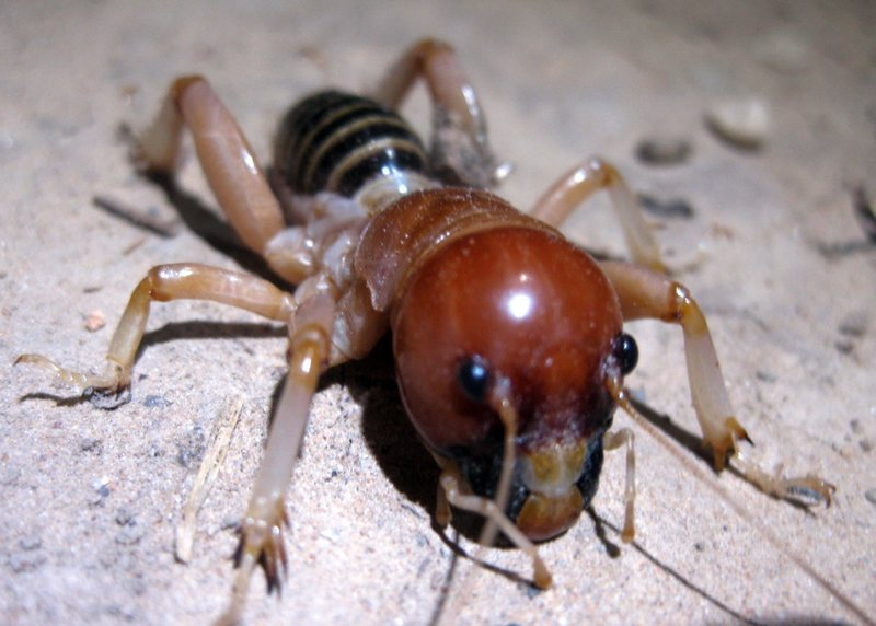 Rock Climbing Photo: A pic of a Jerusalem Cricket that I took in Zion i...