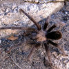 A friendly Tarantula.<br> Photo by Blitzo.
