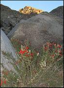 Rock Climbing Photo: California Fuchsia and Stealth Pillar above. Photo...