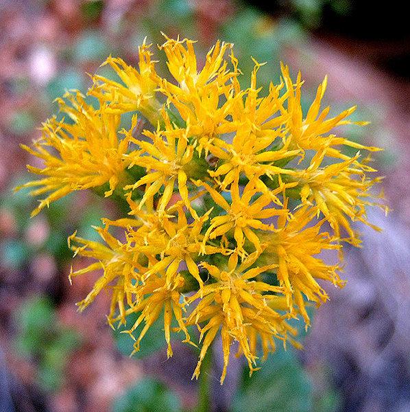 Goldenbush.<br> Photo by Blitzo.