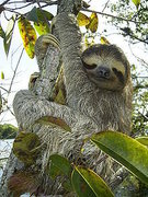 Rock Climbing Photo: Sloths have 25% less muscle mass than most other m...