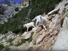Rock Climbing Photo: Goats