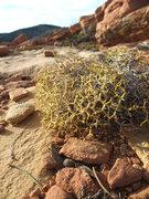 Rock Climbing Photo: interesting dichotomous branching