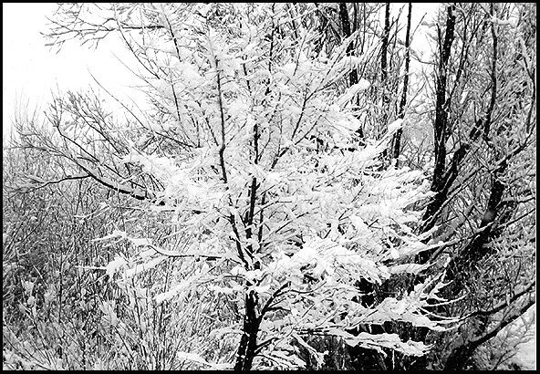 Snowy Trees, Carson City.<br> Photo by Blitzo.