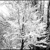 Snowy Trees, Carson City.<br> Photo by Blitzo.