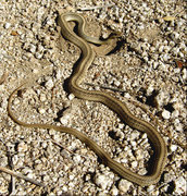 "Rock Climbing Photo: A snake that I found below ""Snake Book""...."