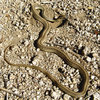 A snake that I found below &quot;Snake Book&quot;.<br> Photo by Blitzo.