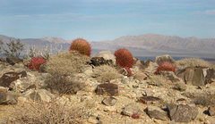 Rock Climbing Photo: Barrel cactus on the ridge. Photo by Blitzo.