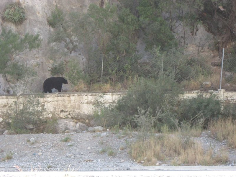 Rock Climbing Photo: black bear at the Scrutinizer Wall