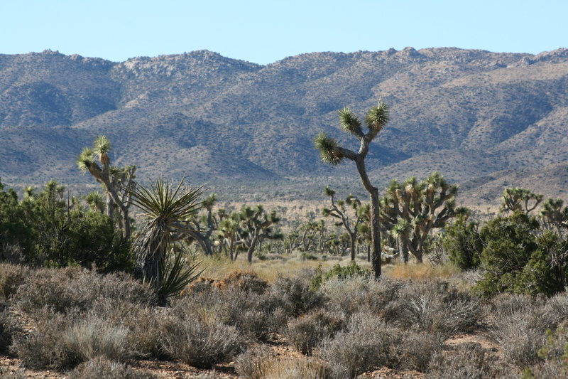 A Yucca forest.