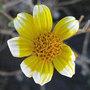 Rock Climbing Photo: A mutant encelia flower (encelia farinosa). Photo ...