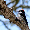 One of the Monument's most vocal residents, the Acorn Woodpecker.