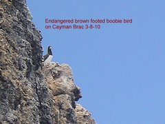 Rock Climbing Photo: endangered brown-footed boobie bird
