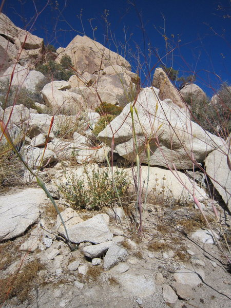 """The """"alien pod plants"""" of Joshua tree are some of the most odd-looking flora I know of.  They end up red, but are most beautiful in the change-over stage, when they are multi-colored. Photo By Tony B, 11/2010."""