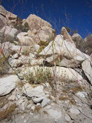 "Rock Climbing Photo: The ""alien pod plants"" of Joshua tree ar..."