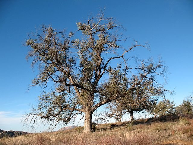 A nice oak tree along the trail, Eagle Peak