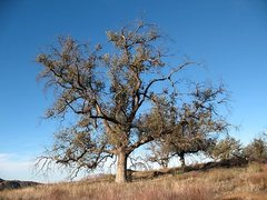 Rock Climbing Photo: A nice oak tree along the trail, Eagle Peak