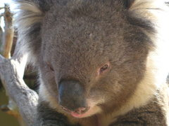 Rock Climbing Photo: Friendly koala