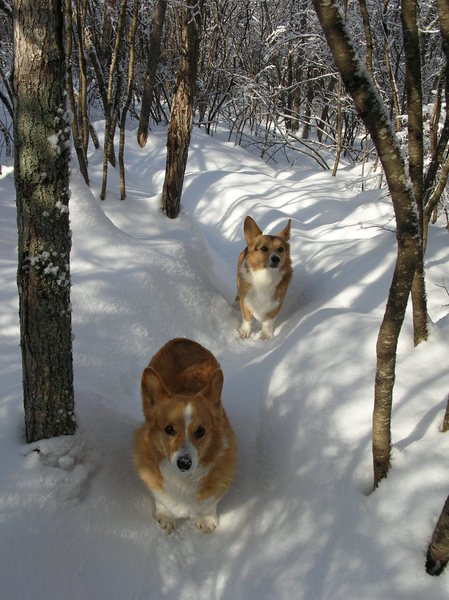 Penny and Jasper brave the deep snows of the backyard trail.