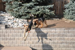 Rock Climbing Photo: Cochise chases Niyecky over the edge.