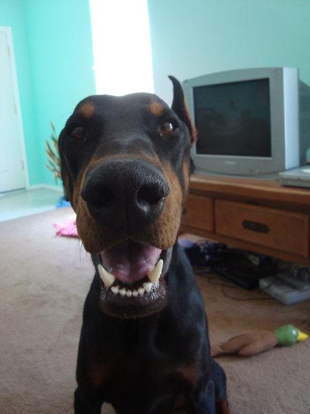 My 80 lbs lap dog.