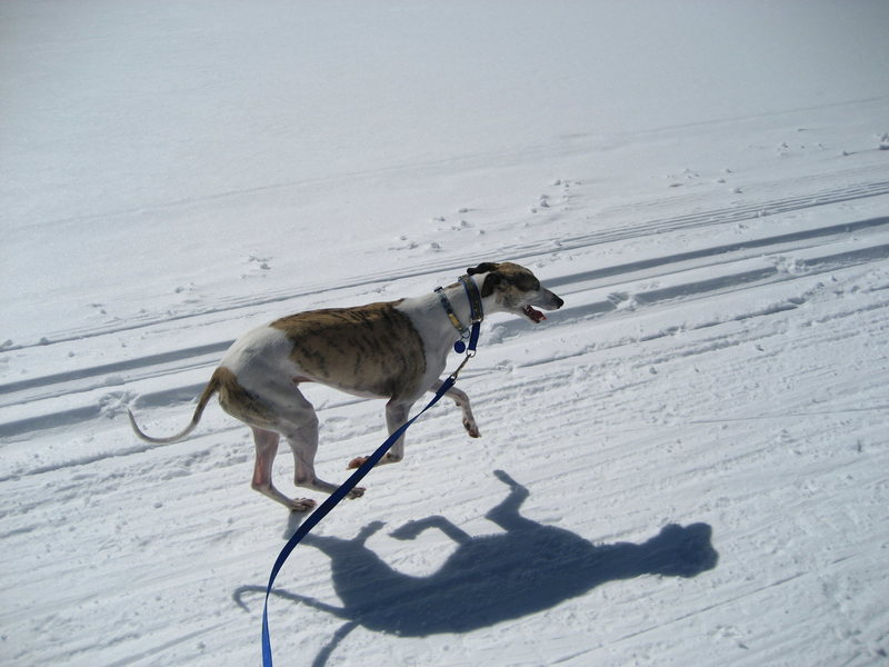 Skijor with Genius the whippet