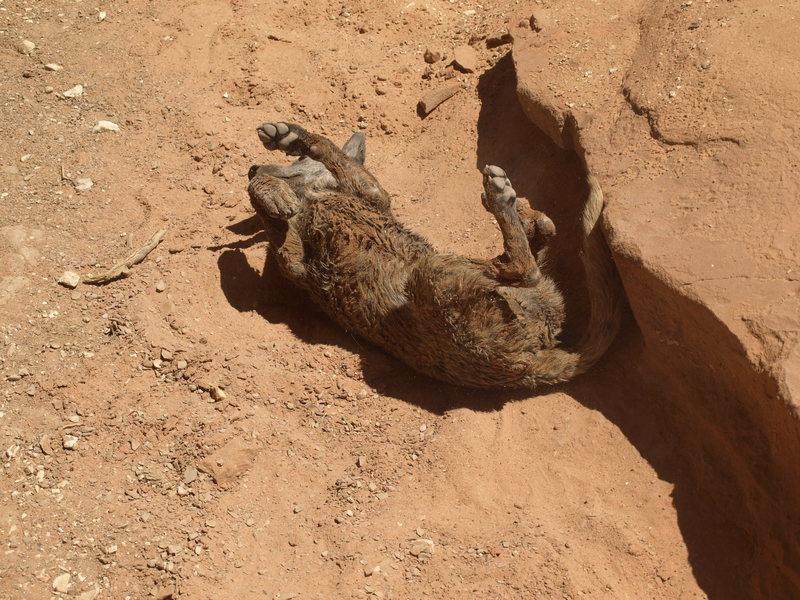 Possum in Peria Canyon. Mud puppy!