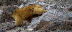 Rock Climbing Photo: Marmot at Khunjerab Pass