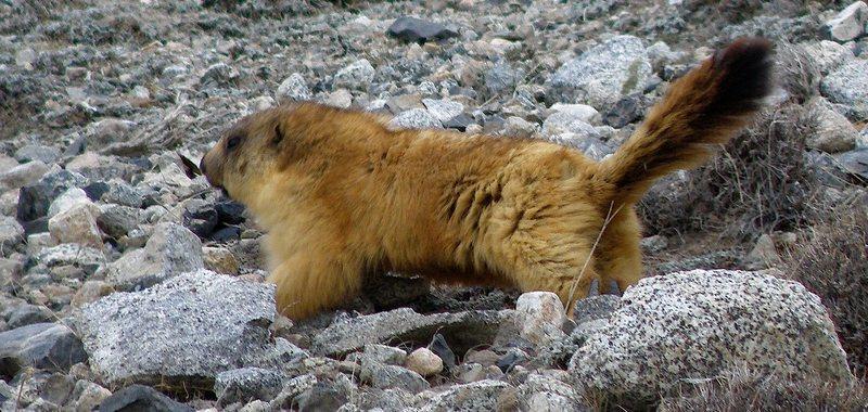 Rock Climbing Photo: Marmot at Khunjerab Pass.