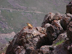 Rock Climbing Photo: Marmot at Deosai.