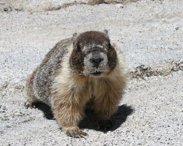 Rock Climbing Photo: Half Dome resident marmot.