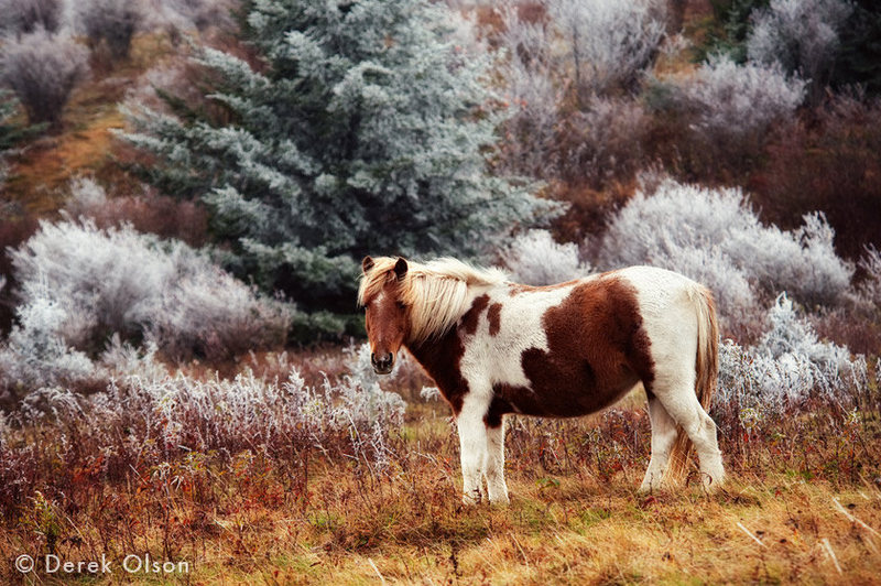This is an absolutely beautiful photo of one of the free range ponies found in the Highlands Area by Derek Olson, who is based out of Asheville North Carolina.<br> <br> -Make sure to double click this one to see the full size photo-