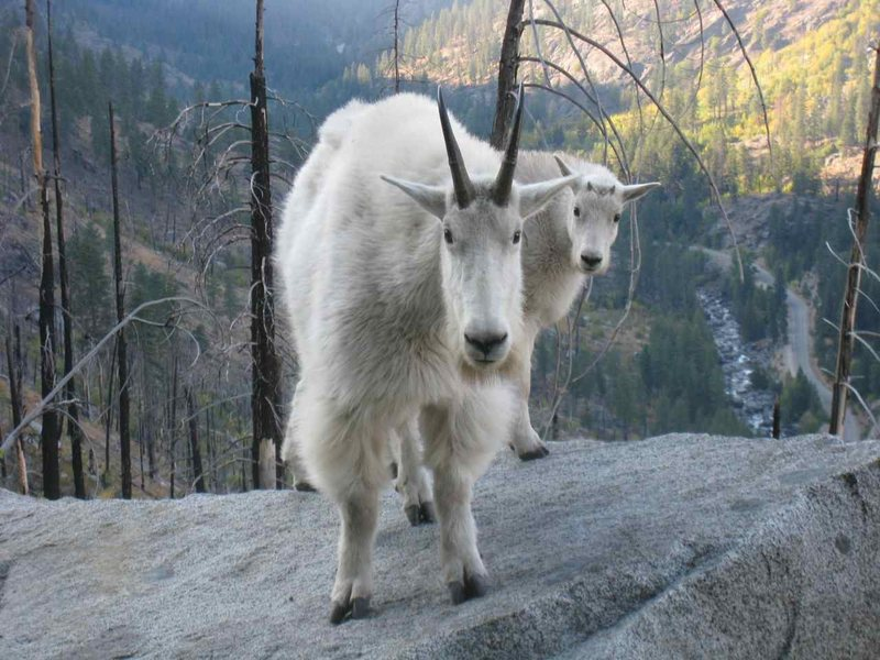 Rock Climbing Photo: Goats are evil