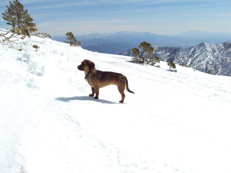Sophie, the 3-legged dog, makes her 3rd winter ascent, this month, of Mt. San Antonio, via the South Bowl.