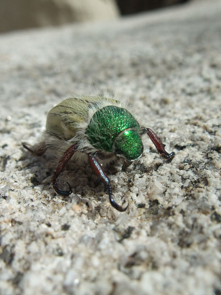 Rock Climbing Photo: fancy beetle in the wash