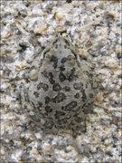 Rock Climbing Photo: Spadefoot Toad, near Willow Hole. Nice camo. Photo...