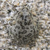 Spadefoot Toad, near Willow Hole. Nice camo.<br> Photo by Blitzo.