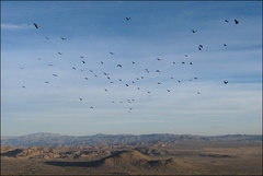 Rock Climbing Photo: A flock of buzzards from The Watchtower. Photo by ...