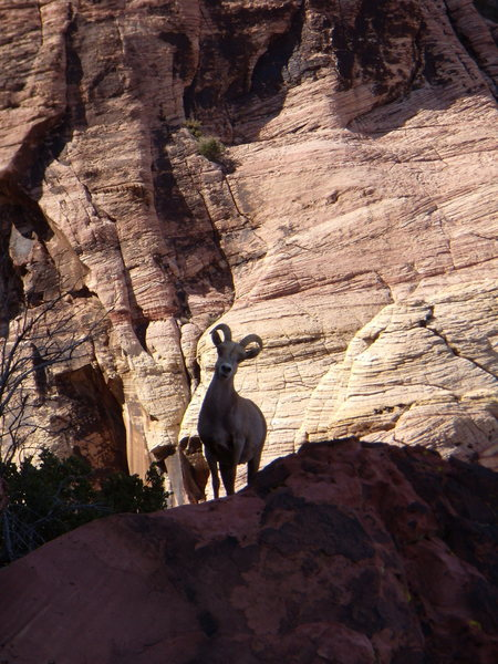 This sheep's climbing ability really gets my goat.  Red Rocks - March 2011.
