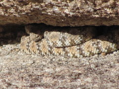 Rock Climbing Photo: One of THREE  rattlesnakes seen at the normal bela...