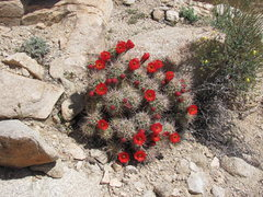 Rock Climbing Photo: Cactus in bloom.