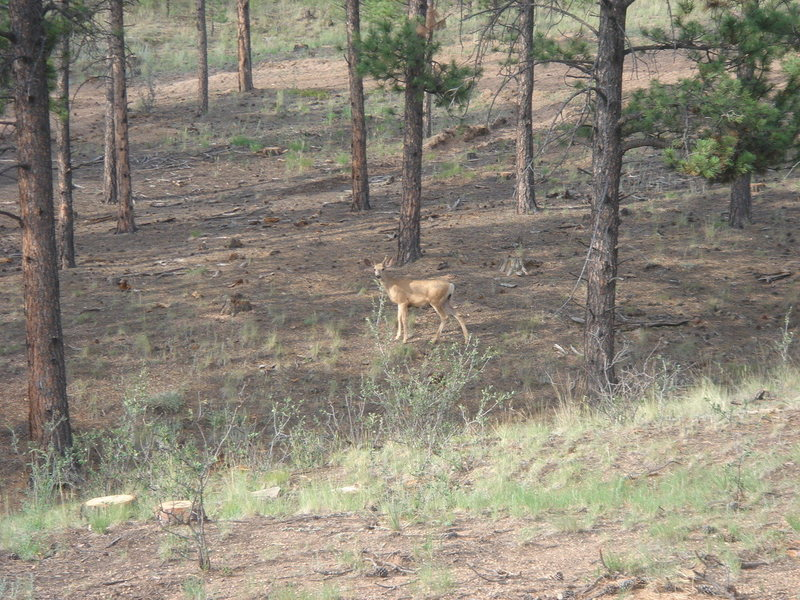 Deer at camp, morning, Elevenmile Canyon, CO