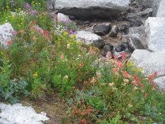 Rock Climbing Photo: Mountain wildflowers, Bugaboos, British Columbia
