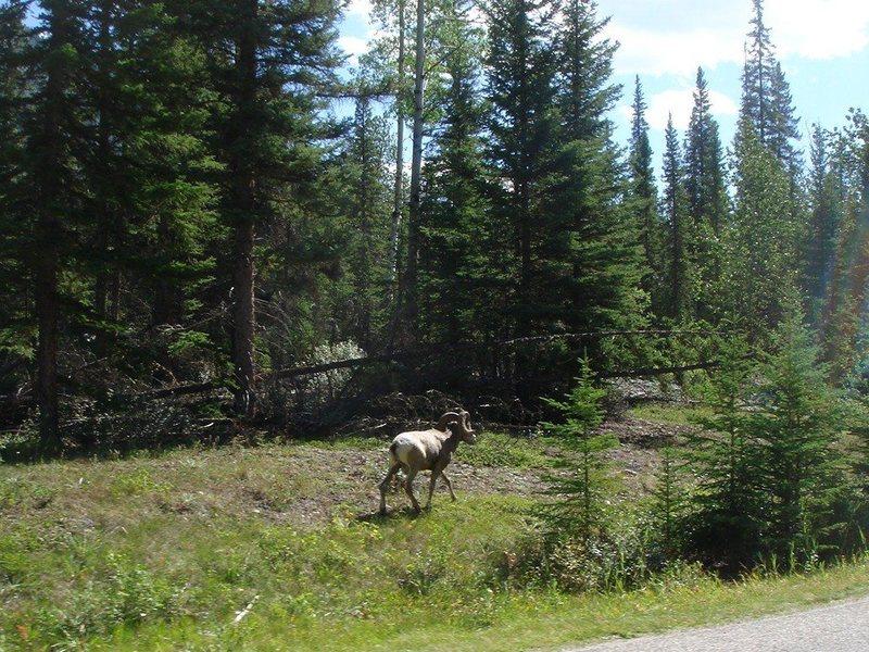 Big Horn Sheep, Bow Valley, Alberta