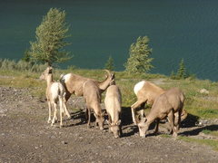 Rock Climbing Photo: Young Bighorn Sheep, Lac des Arcs, Alberta